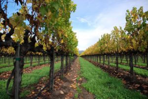 vineyard-napa-valley-california